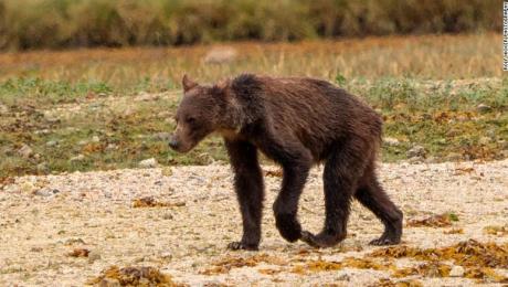 Las desgarradoras imágenes de una familia de osos demacrados
