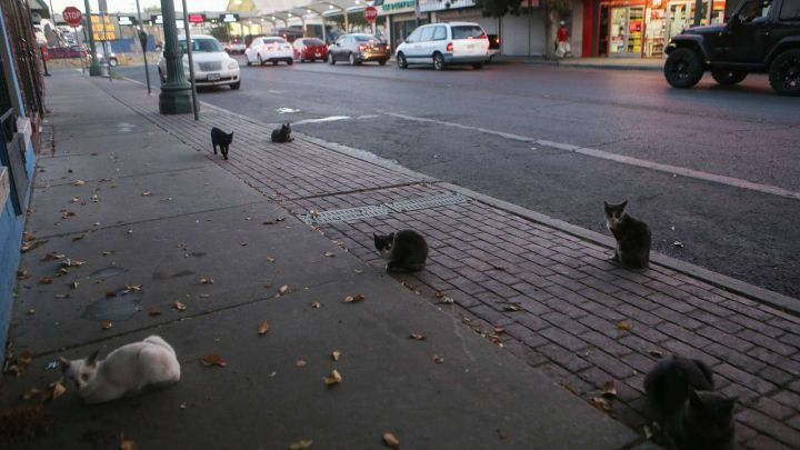 Los gatos pueden ser portadores asintomáticos de la COVID-19